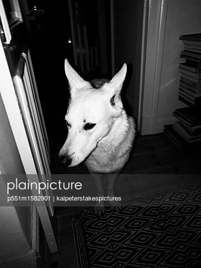 Schäferhund - p551m1582901 von Kai Peters