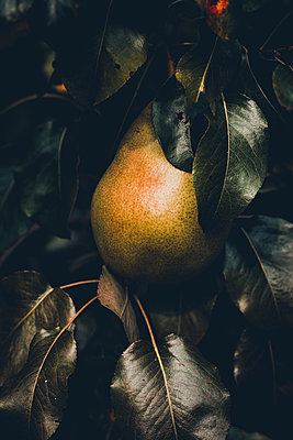 Single pear in a tree, close-up - p1628m2208704 by Lorraine Fitch