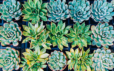 China, Hong Kong, succulents at the flower market - p300m2058767 by Gemma Ferrando