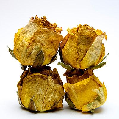 Wilted roses - p813m908611 by B.Jaubert
