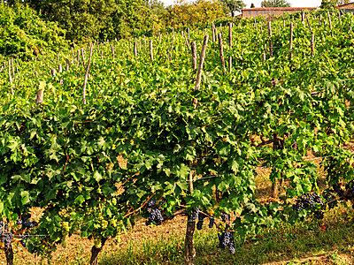 Weinberg, Toskana, Italien - p1154m2160774 von Tom Hogan