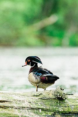 Closeup portrait of a male wood duck standing on a log - p1166m2218423 by Cavan Images
