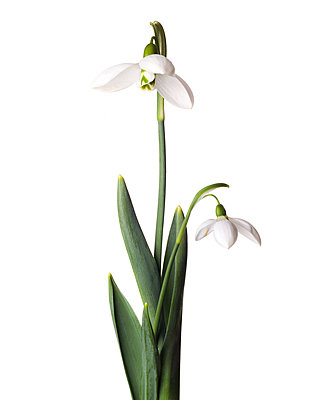 Snowdrop Flower, Galanthus nivalis, against White Background - p694m2068539 by Lori Adams