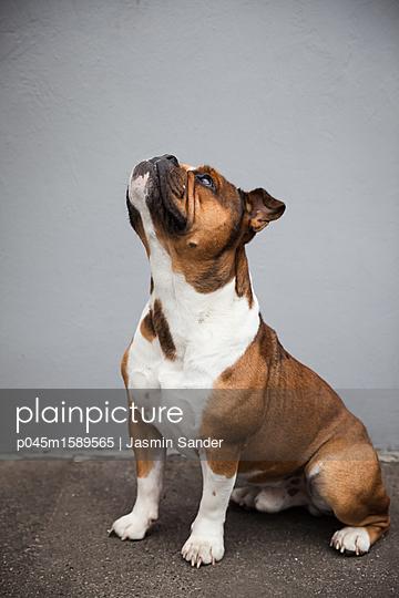 Hund guckt aufmerksam nach oben - p045m1589565 von Jasmin Sander