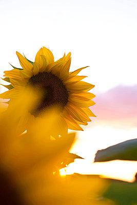 Sunflowers at sundown - p533m1055341 by Böhm Monika
