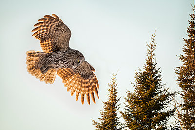 Great gray owl (Strix nebulosa) hunting; Thunder Bay, Ontario, Canada - p442m2039342 by Susan Dykstra