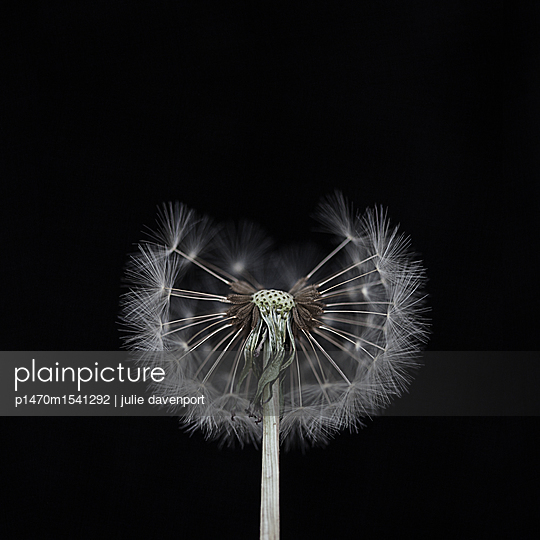 Close up of dandelion clock in studio - p1470m1541292 by julie davenport