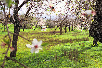 Almond tree and blossoms - p8850158 by Oliver Brenneisen
