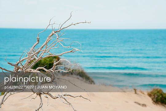 Dry bush on a beach sand dune - p1423m2279927 by JUAN MOYANO
