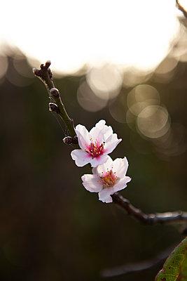 Almond Blossom La Palma - p1095m2072784 by nika
