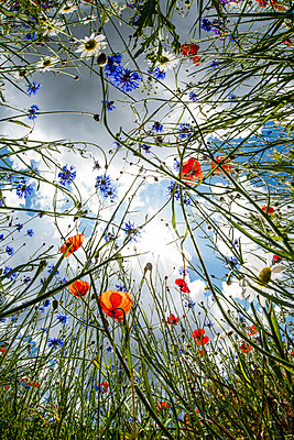 Poppies and cornflower, Umbria, Italy, Europe - p871m1583760 by Robert Canis