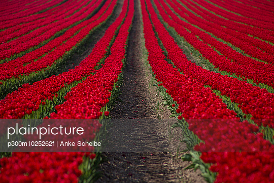 Germany, rows of a red tulips