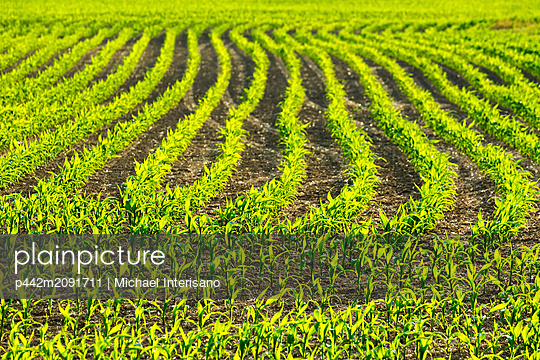 Rows of young corn plants in a field glowing while backlit by the sun; Vineland, Ontario, Canada - p442m2091711 by Michael Interisano