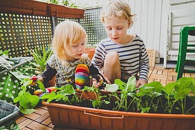 Blond boy and girl harvesting homegrown radish in balcony - p300m2202709 by Irina Heß