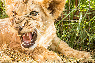 Close-up of lion cub roaring - p301m1406182 by Kit Korzun