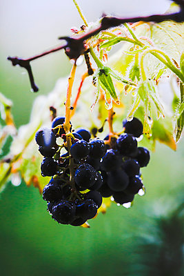 Grapes - p417m932747 by Pat Meise