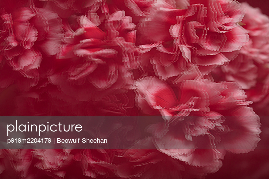 blurred red, pink, and white carnation flowers - p919m2204179 by Beowulf Sheehan
