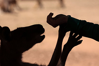Feeding a kangaroo - p1016m792537 by Jochen Knobloch