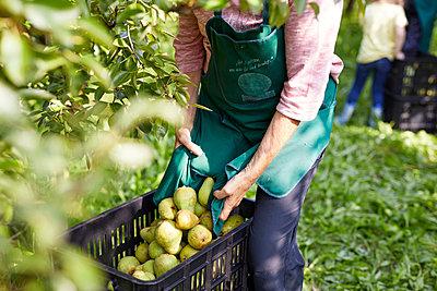 Organic farmers harvesting williams pears - p300m2140722 by Sebastian Dorn
