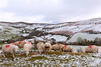 Sheep feed on high moorland in a wintry landscape in Powys, Wales, United Kingdom, Europe - p871m1136150 by Graham Lawrence