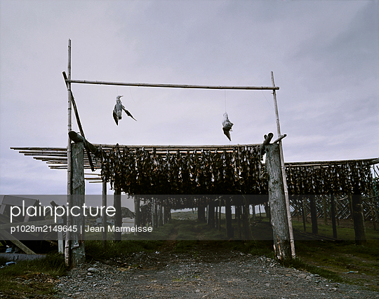 Two dead seagulls and cod heads hanging on wooden fish drying racks, East Fjords, Iceland - p1028m2149645 von Jean Marmeisse