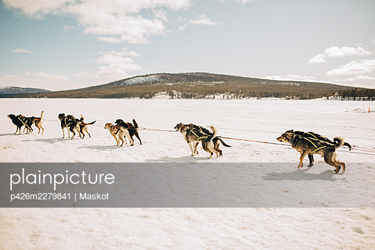 Huskies dogsledding on snow during winter - p426m2279841 by Maskot