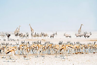 Namibia, Etosha National Park, wild animals near a waterhole - p300m1449331 by Gemma Ferrando