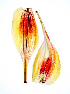 Flower petals - p401m2187906 by Frank Baquet
