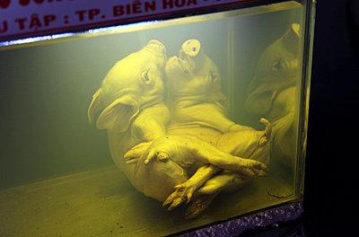 Tote Schweine - p664m788098 von Yom Lam