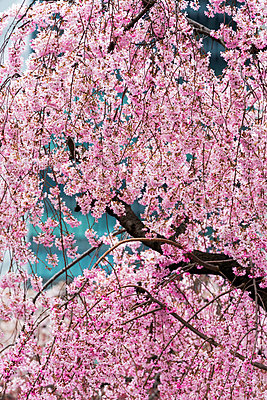 Beautiful cherry blossom in full bloom in Tokyo Imperial Palace East Gardens, Tokyo, Japan, Asia - p871m1174318 by Martin Child