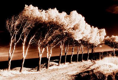 vom Tramuntana windschiefe Pinien in Port Lligat bei Cadaques - p9793403 von Hoschek