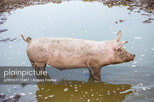 Schwein artgerecht gehalten - p781m1172461 von Angela Franke