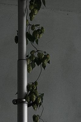 Hopfenranke in Zimmer - p1650m2231843 von Hanna Sachau