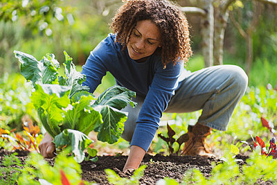 Smiling woman picking organic cauliflower in permaculture garden - p300m2267349 by Steve Brookland