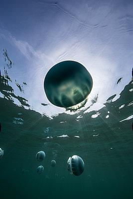 Cannonball jellyfish (Stomolophus meleagris), in ocean, underwater view, La Paz, Baja California Sur, Mexico, North America - p924m1519378 by Rodrigo Friscione
