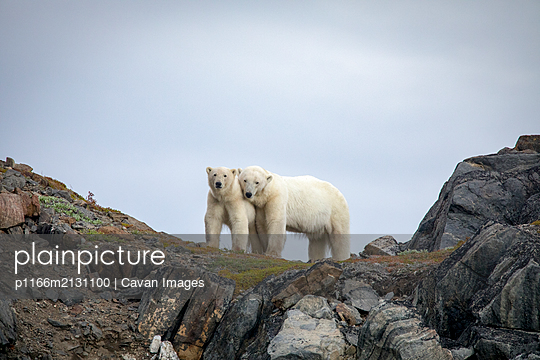 Polar bear explores rocky shoreline, Torngats Mountains National Park - p1166m2131100 by Cavan Images