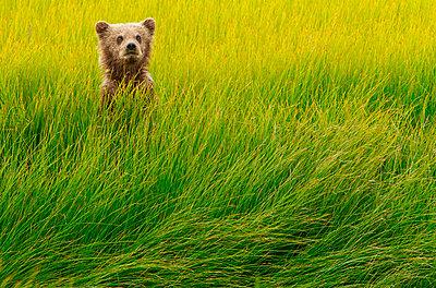 Brown bear cub - p1100m887874f by Art Wolfe