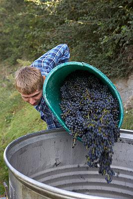 Mann bei der Traubenernte, Cabernet Sauvignon - p1259m1064617 von J.-P. Westermann