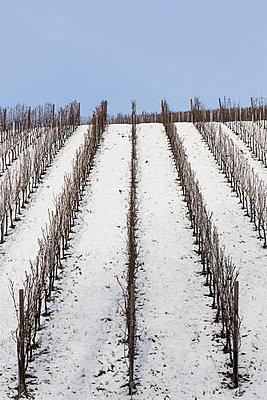 Weinberge im Winter - p248m1004116 von BY