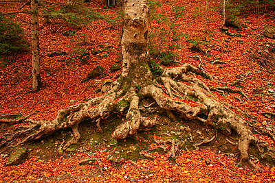 Spain, Ordesa National Park, tree in autumn forest - p300m999051f by David Santiago Garcia