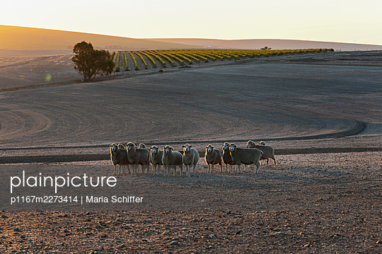 Africa, Flock of sheep - p1167m2273414 by Maria Schiffer