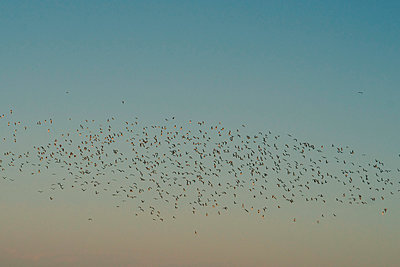 Low angle view of silhouette birds flying against sky during sunset - p1166m1531436 by Cavan Images