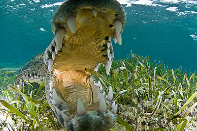 Close up of open mouthed american crocodile, Chinchorro biosphere reserve, Quintana Roo, Mexico - p429m1012813f by Rodrigo Friscione