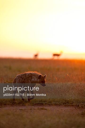 Tüpfelhyäne vor Sonnenaufgang - p533m1152715 von Böhm Monika