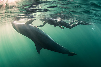 Woman free-diving with Bottlenose dolphin (Tursiops truncates), underwater view, Doolin, Clare, Ireland - p429m2019799 by George Karbus Photography