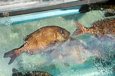 Fische im Restaurant - p949m658117 von Frauke Schumann