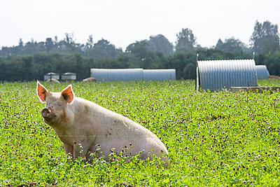 Pig - p1057m1028461 by Stephen Shepherd