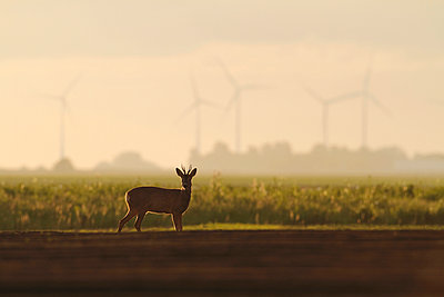 Roe deer on farming land with windengines in the background - p1144m943834 by Mark  Schuurman