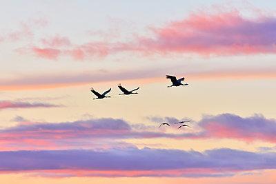 Kraniche fliegen durch den leuchtenden Abendhimmel - p235m2021749 von KuS