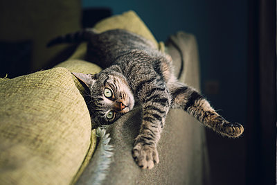 Tabby cat relaxing on a couch - p300m1153593 by Ramon Espelt